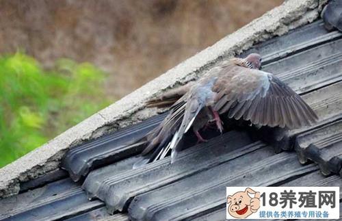 人工养殖斑鸠技术