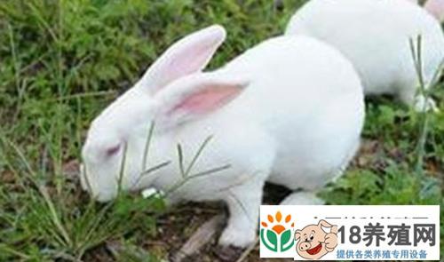 肉兔和宠物兔的区别具体有哪些