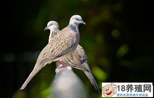 人工养殖斑鸠注意事项(2)