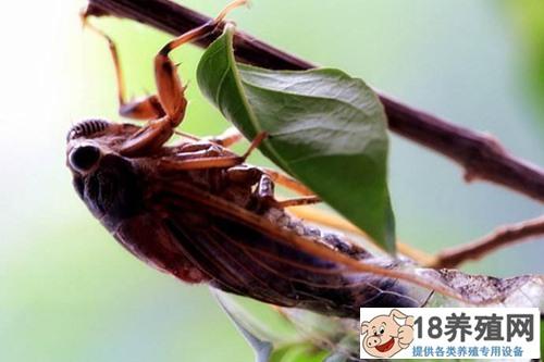金蝉有寄生虫吗