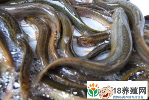 泥鳅越冬期养殖技术要点