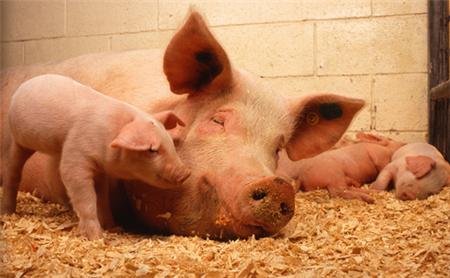 母猪淘汰加剧!集团企业开始争抢小猪,小猪价格预计回2000元