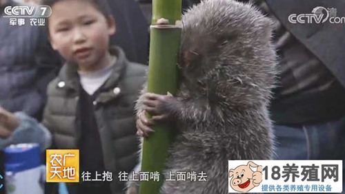 """四川蒲俊养竹鼠 老兵创业为""""鼠""""钱"""