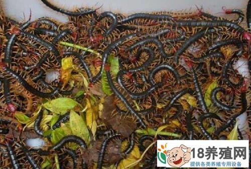 怎样识破蜈蚣养殖骗局