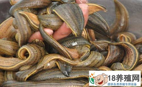 水蛭养殖效益高一亩利润1.8万元