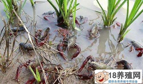疫情期间稻虾养殖管理,专家给出建议!