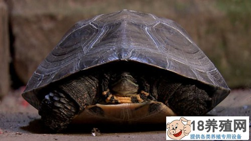 """邓德明靠""""臭龟""""(黑颈龟)改变命运"""