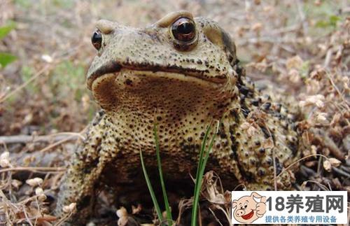 蟾蜍和青蛙的区别(2)