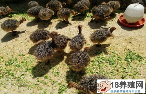 鸵鸟蛋的孵化技术 鸵鸟孵化