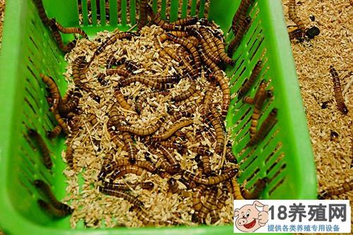 黄粉虫养殖技术要点