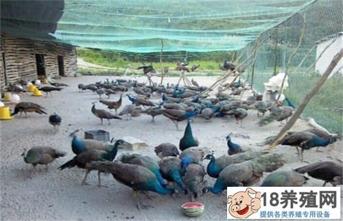 孔雀养殖场地建设
