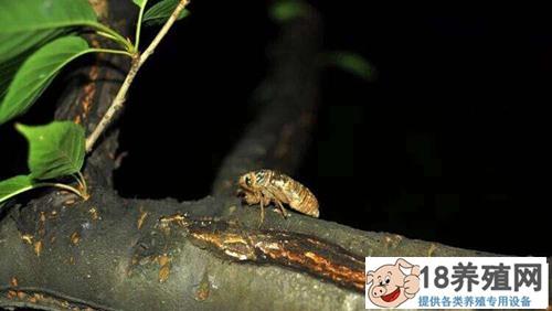 人工养殖金蝉周期