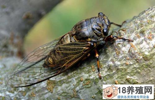 人工养殖金蝉周期(2)