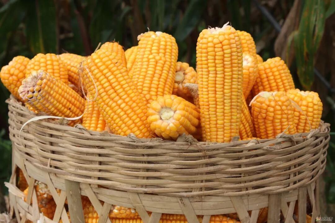 玉米价格能回到2700元/吨以下吗?有大概率!为什么?