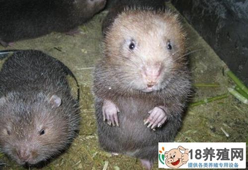 揭秘:山洞里养竹鼠赚钱有门道