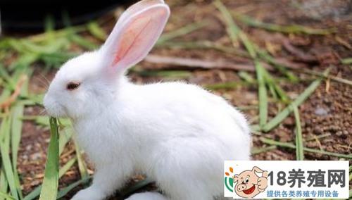 养殖10只母兔子,一年利润有多少?