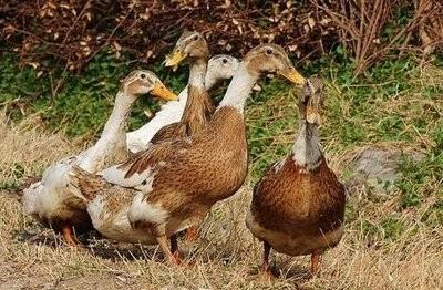 我国肉鸭养殖面临的挑战及对策