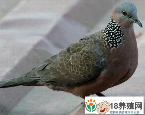 斑鸠的家养技巧及喂养方法(2)