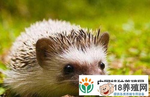 宠物刺猬的养殖方法(2)