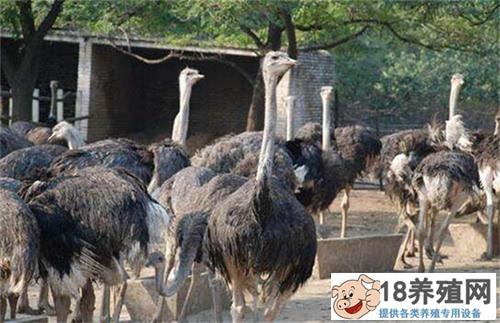 鸵鸟养殖基地的建设方案(2)