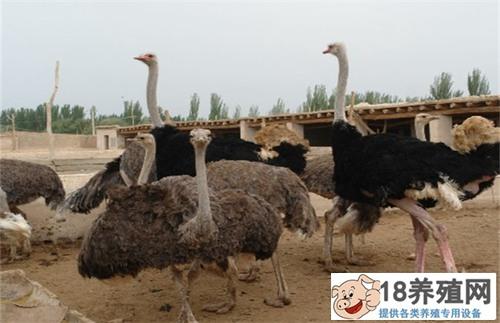 鸵鸟养殖基地的建设方案