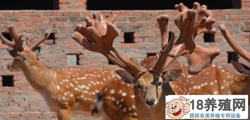 2020年想要养殖鹿,卖多少钱一只呢?