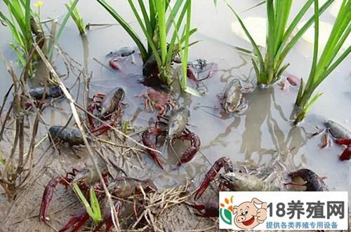 虾稻共作+水芹 每亩多收一万元