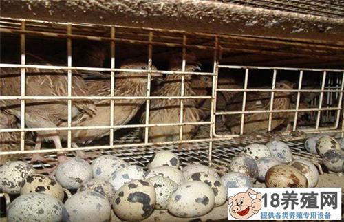 鹌鹑蛋的营养价值高吗?(鹌鹑蛋价值分析)(2)