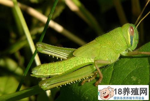 蟑螂、蚂蚱也可出口创汇 湖南省首次向美国出口保鲜昆虫