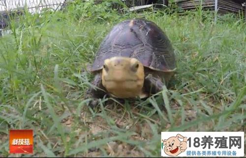 大开眼界:李广源养殖黄缘闭壳龟有奇招