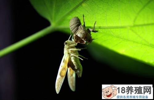 金蝉有养殖成功的吗