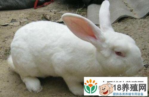 2020兔子养殖是否有钱赚是否可以入行?