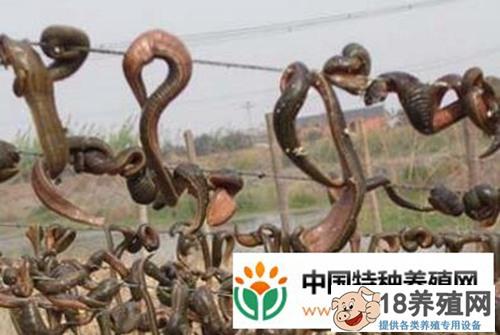 宿松县徐良学养水蛭引领村民踏上致富路