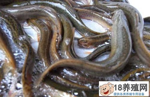 泥鳅养殖大棚技术要点