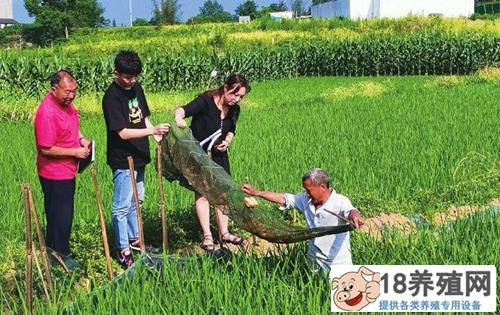 """""""中稻+再生稻,小龙虾+台湾大头虾""""一季多收一亩收入1.5万元"""
