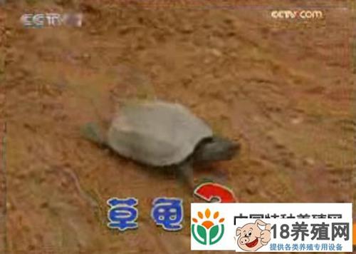 普通草龟不愁卖