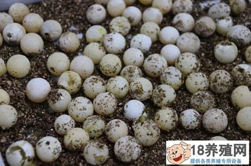 甲鱼卵的胚胎发育(2)