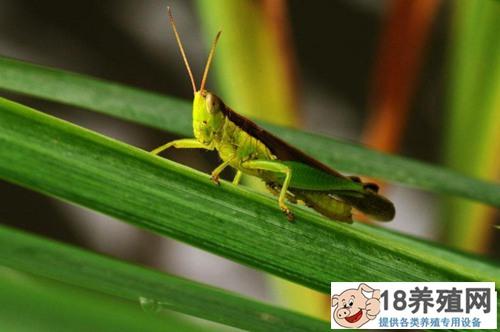 傻傻分不清:蚂蚱是蝗虫吗