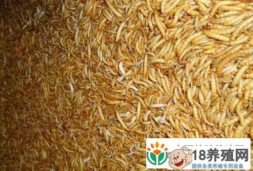 黄粉虫养殖:黄粉虫的养殖技术(3)