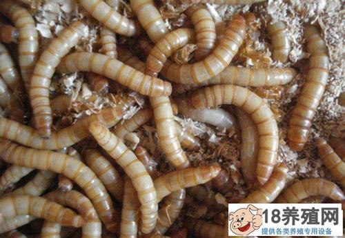 黄粉虫养殖:黄粉虫的养殖技术