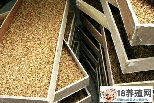 黄粉虫养殖:黄粉虫的养殖技术(2)