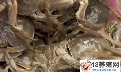 螃蟹养殖个头小、死蟹多怎么办?养蟹高手来支招