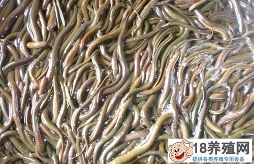 黄鳝养殖投资成本与收益分析,养鳝鱼赚钱吗?