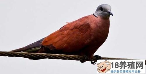怎么养斑鸠
