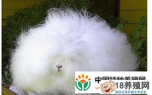 长毛兔养殖成本与利润分别为多少?