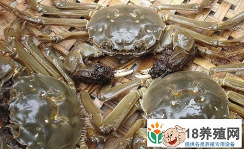 大闸蟹蟹苗一年能长多大?如何养殖!