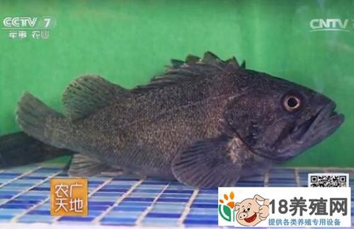 探秘青岛黑鮶鱼网箱养殖和中华绒螯蟹公寓式养殖