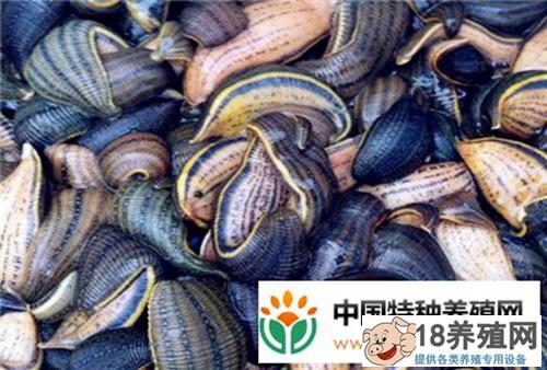 水蛭多少钱一斤?水蛭养殖市场前景效益怎样?