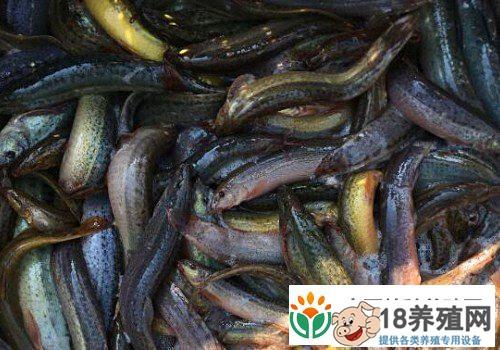 台湾泥鳅养殖技术分享