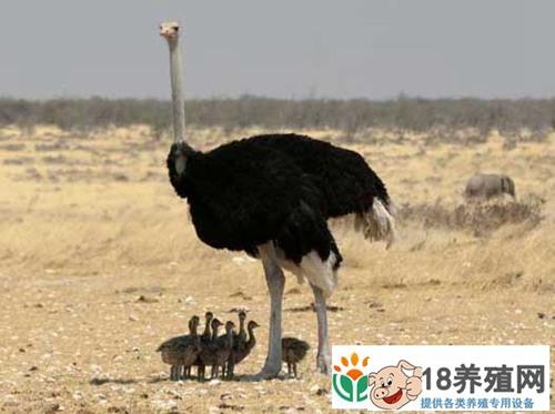 鸵鸟的育雏方法